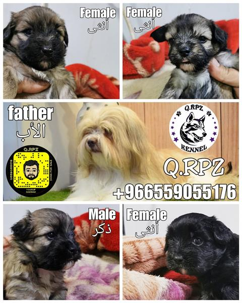 Havanese puppies جراء هافنيز
