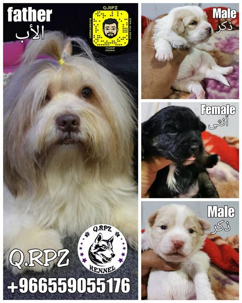 Havanese puppies جراء هافنيز ²