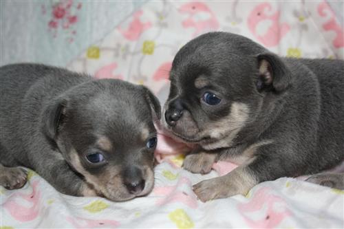 chihuahua puppies for a new home