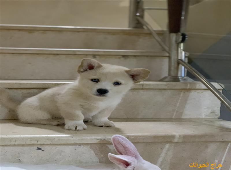 بيع وشراء الكلاب - موقع لبيع الكلاب | حراج الحيوانات