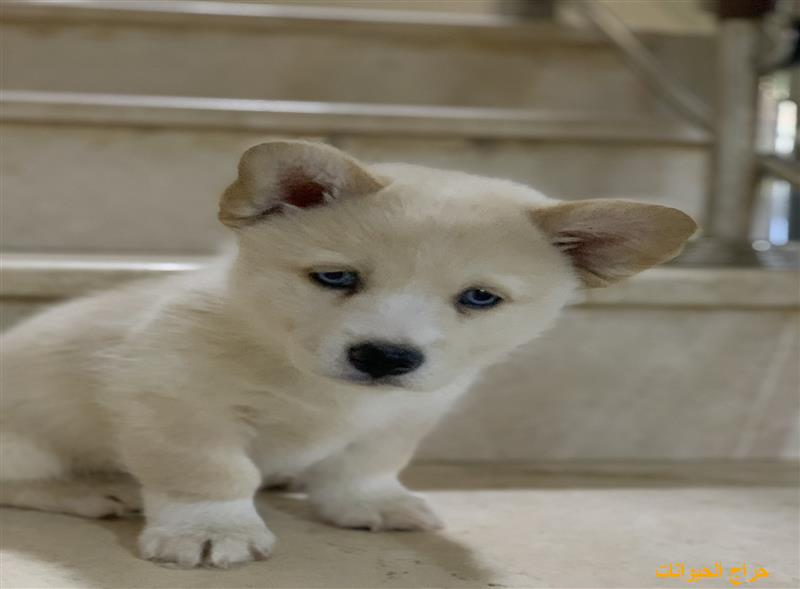 كلاب صغيره للبيع |حراج الحيوانات