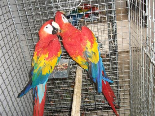 Scarlet Macaws Parrots and Eggs for sale